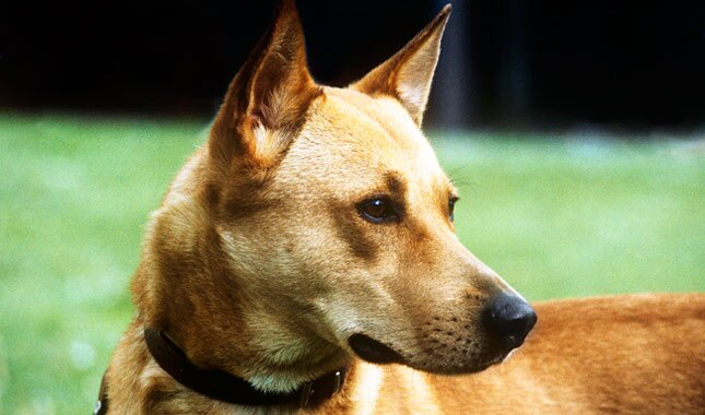 Canaan Dog close up