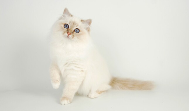 White Birman Cat