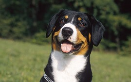 Entlebucher Mountain Dog happy in field.