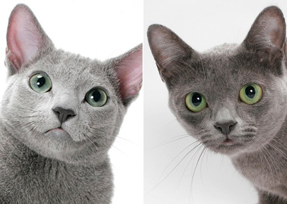 Differences In Breeds Of Cat