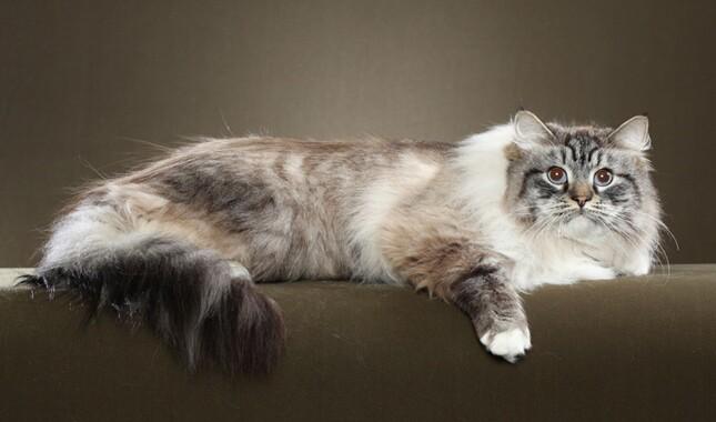 Siberian Cat Lying Down