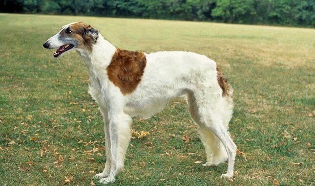 A Borzoi Dog Borzoi Breed Informati...