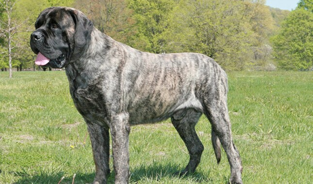 Mastiff Dog Breed Information
