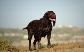 American Water Spaniel dog breed walking on dunes