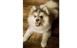 Pomsky designer dog