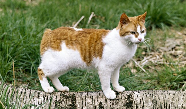 Manx cat outside
