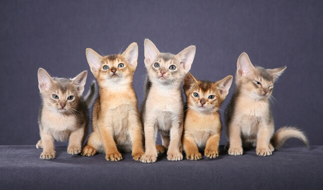 Five Abyssinian Kittens