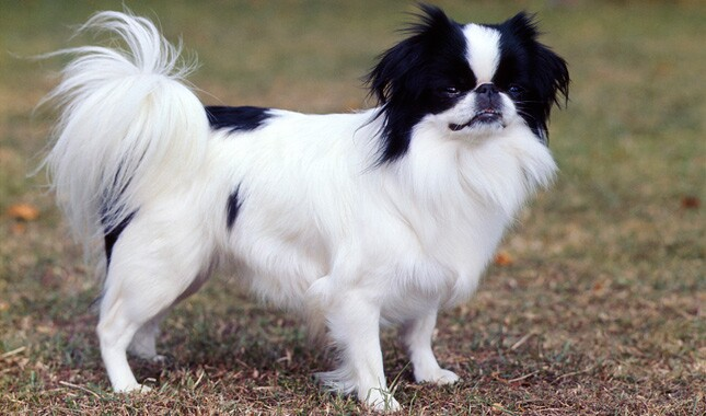 74d94258e06c2 Japanese Chin Breed Information