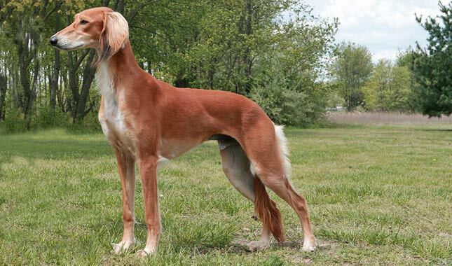 saluki dog. saluki dog breed e