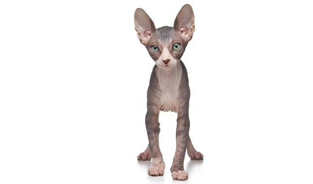 Sphynx Cat Looking at Camera