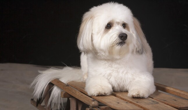 Coton de Tulear on Wooden Bench
