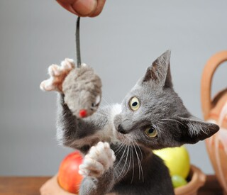 Gray kitten batting toy