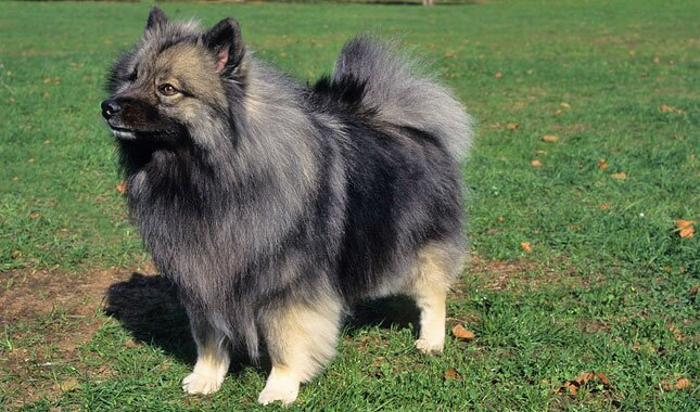 Keeshond And Cats Keeshond Breed ...