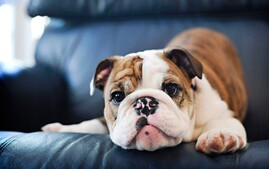 Young Bulldog Puppy