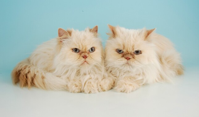 Two Persians Laying Down