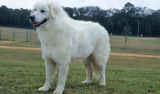 Kuvasz Breed Information