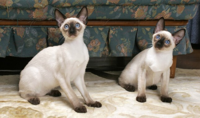 Two Seal Point Siamese Cats