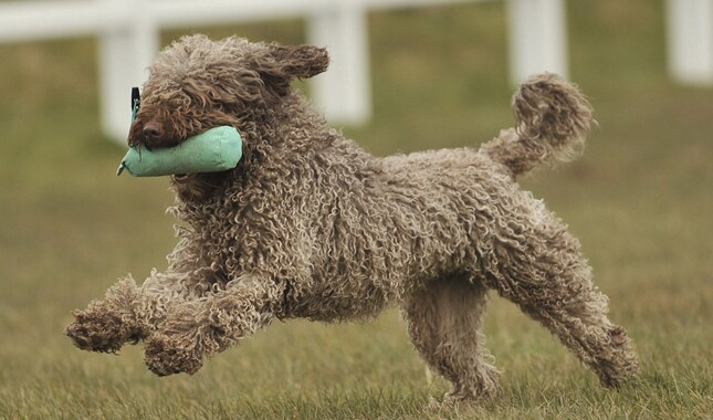Spanish Water Dog Running With Toy