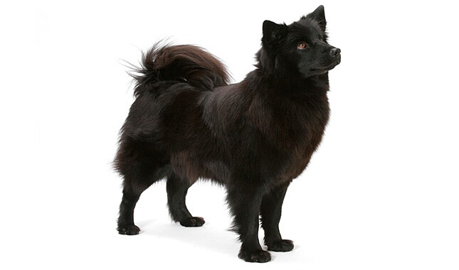 Swedish Lapphund Dog