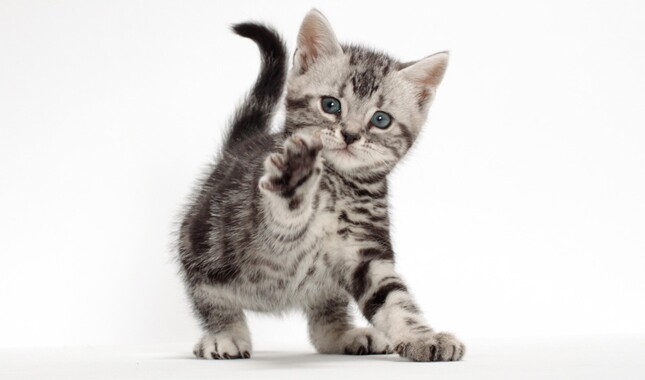 American Shorthair Kitten With Paw Up