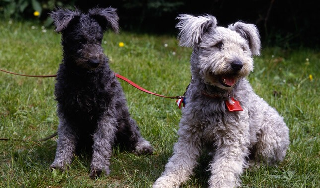 Two Pumi Dogs Sitting in Grass