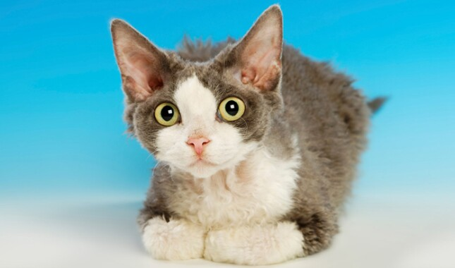 Gray and White Devon Rex Kitten