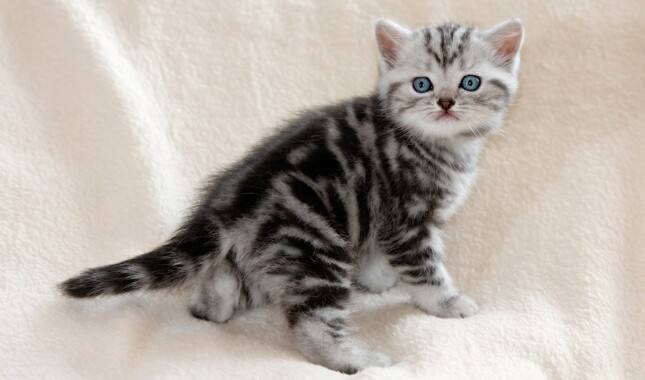 British Shorthair Kitten Blue Eyes