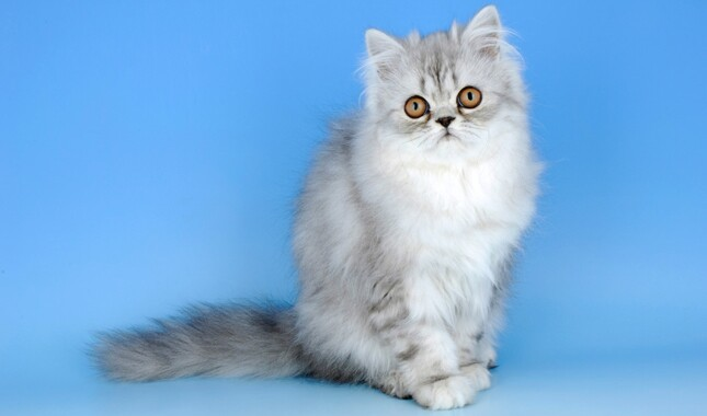 Persian Cat Sitting