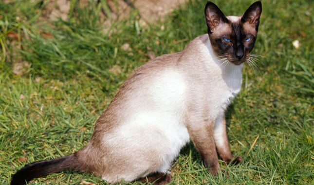 Siamese cat outside