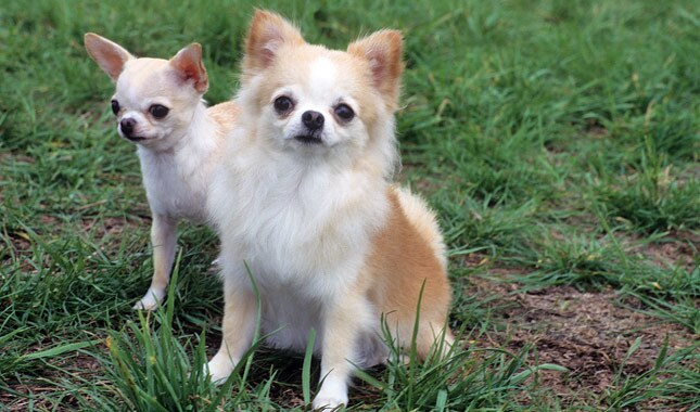 Why Chihuahuas Are The Best Dogs