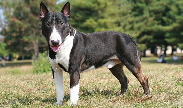 minature bull terrier miniature bull terrier breed information 4221