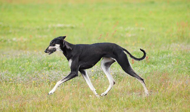 Sloughi Dog Breed