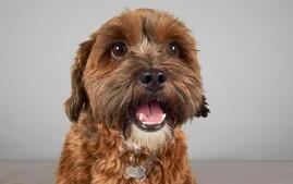 Shihpoo designer dog