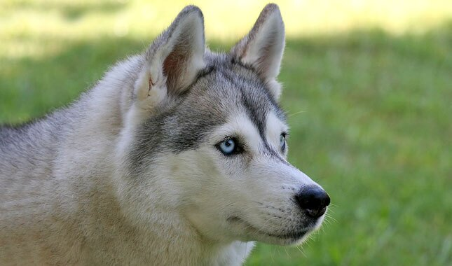 Siberian Husky Dog Breed Information