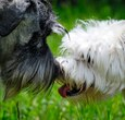 Dogs lick each others muzzles