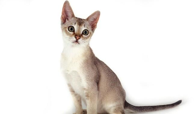 Singapura Kitten Sitting