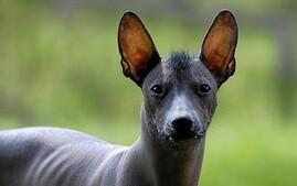 Xoloitzcuintli Dog