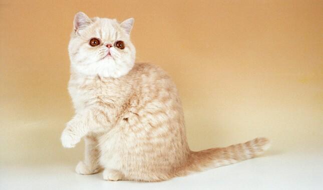 Cream Tabby Exotic Shorthair