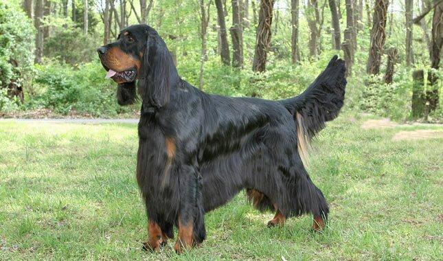 Grooming Gordon Setter Dog