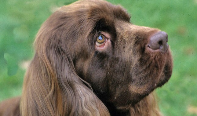 Sussex Spaniel Dog Breed