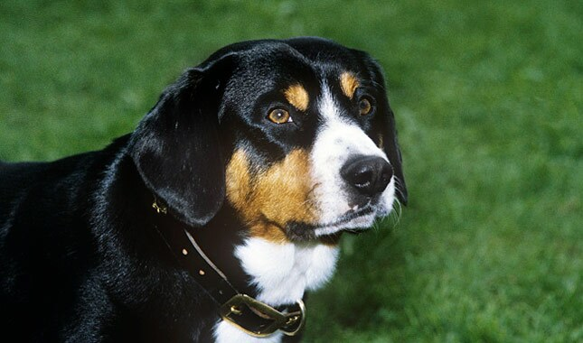 Entlebucher Mountain Dog in grass