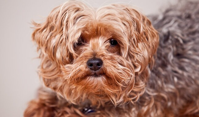 Yorkiepoo Dog