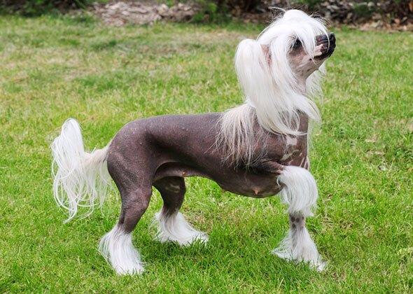Breeds of Dogs and Cats With No Hair