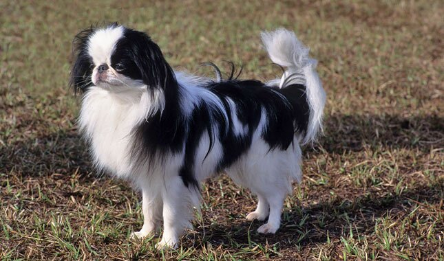 Japanese Chin Dog Breed