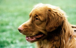 Nova Scotia Duck Tolling Retriever Dog Breed