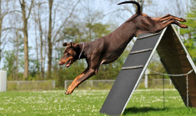 Doberman dog breed on agility course