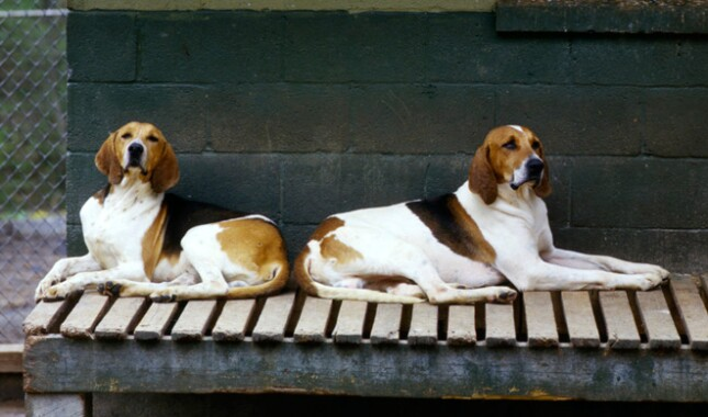 Two American Foxhound dogs