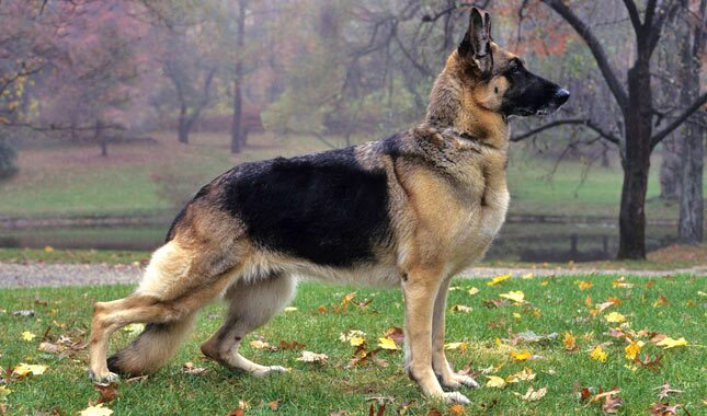 german shepherd stance german shepherd dog breed information 9531