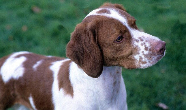 Brittany Mix Dog Breed