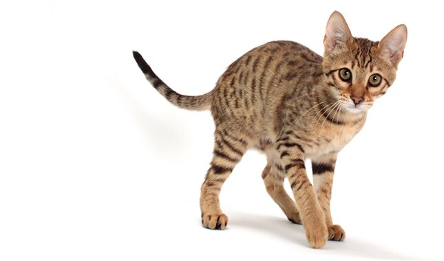 African Cat With Pointed Ears